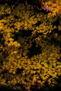 """Japanese colors 黄朽葉色: Japanese has many words for colors. This yellow is """"kikuchiba-iro"""" and means """"withered fallen leaves yellow""""."""