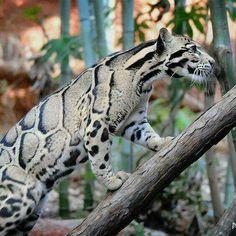 Gorgeous clouded leopard