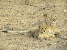 Lioness and its Cub at Gir National Park, Sasan Gir, Gujarat, India. Only abode of Asiatic Lions in the World.