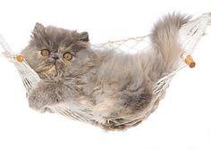 Persian kitten in a hammock -