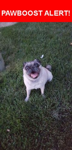 Is this your lost pet? Found in West Jordan, UT 84084. Please spread the word so we can find the owner!  Female pug, well taken-care of, found wandering around The Pines condominiums in West Jordan   Near Jordan Landing Blvd & Center View Way