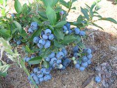 Голубику выращиваем на солнечных местах