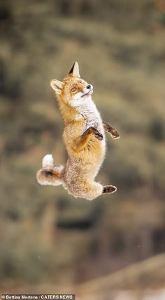 Taken by photographer Bettina Mertens, the stunning images show the fox in the wild as it prances around unsuspectingly in woodland in the Czech Republic. Fox Pictures, Little Fox, Fox Pattern, Fox Art, Reference Images, Red Fox, Image Shows, Jumping For Joy, Animal Kingdom