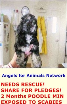 NEEDS RESCUE! SHARE FOR PLEDGES! A1389367 F 2 Months BLACK TAN POODLE MIN 5/19/2015 EXPOSED TO SCABIES OC Animal Care. 561 The City Drive South, Orange, CA. 92868 Telephone: 714.935.6848 https://www.facebook.com/AngelsForAnimals.AFA/photos/pb.315830505222.-2207520000.1432323915./10155549646955223/?type=3&theater