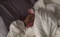 Daily Cute: Sleepy Pit Bull Refuses To Wake Up | Care2 Causes