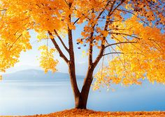 Beautiful  Yellow Tree..