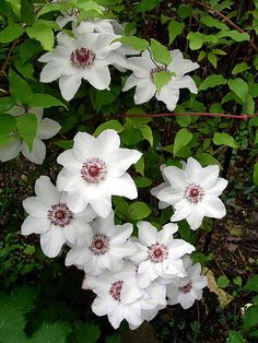 "CLEMATIS: Always called the """"Queen of Vines,"""" nothing else makes the spectacular show of a clematis in full bloom. In almost all zones, these magnificent plants decorate mailboxes, trellises and por"