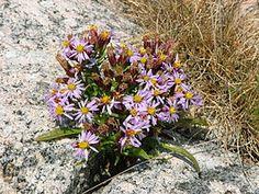 Zulte (plant)