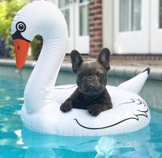 French Bulldog Puppy in a Swan Float in the Pool❤️