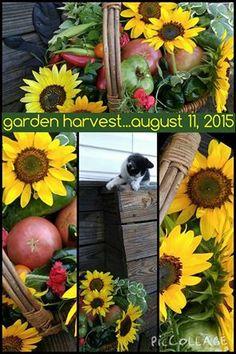 Garden Harvest...August 11, 2015  www.gardenanywherebox.com