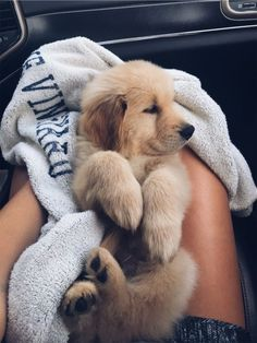 The most adorable golden retriever puppy going home for the first time. Super Cute Puppies, Baby Animals Super Cute, Cute Baby Dogs, Cute Little Puppies, Cute Dogs And Puppies, Cute Little Animals, Cute Funny Animals, Doggies, Cutest Dogs