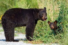 baribal, niedźwiedź czarny (Ursus americanus)