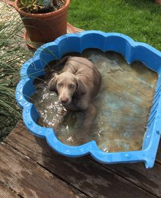 his first bath Weimaraner, Dog Bowls, Puppies, Bath, Dogs, Cubs, Bathing, Pet Dogs, Doggies