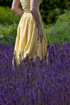 among the lavender ..