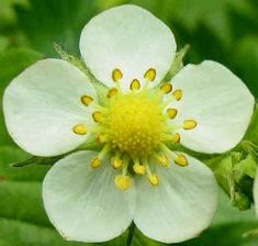Strawberry flower -- several of these, along with the leaves. Full color