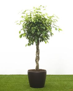 Ficus benjamina in a self watering container. Beautiful specimen tree for houses , atriums, swimming pools etc.