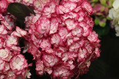 #Hydrangea #Hortensia #MissSaori: Available at www.barendsen.nl