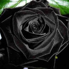 Rosa Negra   Parece uma foto editada, mas não é! A Rosa negra realmente existe e cresce apenas duas vezes por ano, por 15 dias,em Halfeti,...