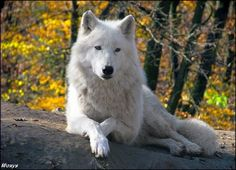 followthewestwind: The wolf gold by *woxys Arctic wolf (Canis lupus arctos