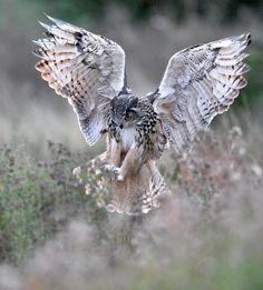 Kaln (European Eagle Owl) coming into land