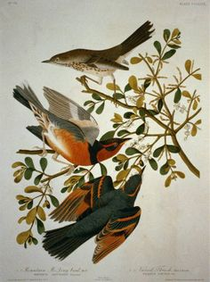 Thrush -aka- Mountain Mocking Bird by John James Audubon Mocking Birds, Audubon Birds, Birds Of America, John James Audubon, Bird Pictures, Bird Prints, Bird Art, American Artists, Beautiful Birds