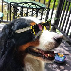 Edie, a Bernese Mountain dog, rocking some FirstMark shades Bernese Mountain, Mountain Dogs, Round Sunglasses, Action, Shades, Community, Group Action, Round Frame Sunglasses, Bernese Mountain Dogs