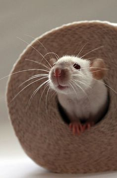 I love rats, an old friend of mine had a pet rat, i used to take it out with me, sit it on my shoulder, total guy magnet