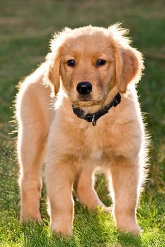 Lucy golden retriever puppy