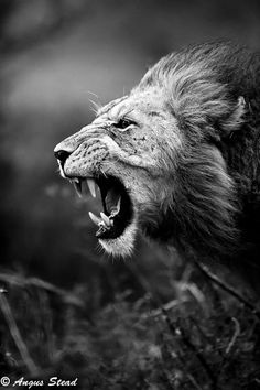 "bigcatslions: ""Photography Angus Stead """