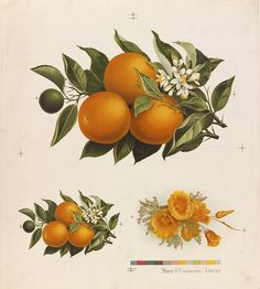 citrus poster - would look great in a kitchen