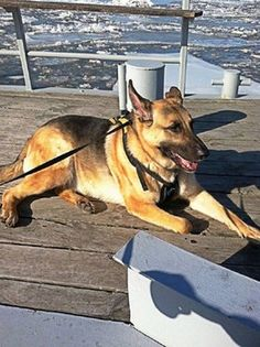 Devoted dog rescuer has died and his beloved German shepherd needs a home Shelter Dogs, Animal Shelter, Rescue Dogs, Animal Rescue, German Shepherd Dogs, German Shepherds, Dog List, Dog Stories, Animaux