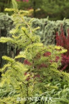 Monrovia's Diana Japanese Larch details and information. Learn more about Monrovia plants and best practices for best possible plant performance.