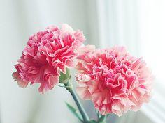 Resultado de imagem para pink carnations