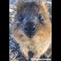 「Happy Friday! I took this lovely shot at Rottnest Island in Western Australia. Quokkas were so adorable」