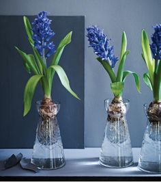 A Trio of Glass Vases for Forcing Bulbs Gardenista