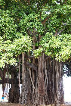 Bayan Tree by Ms. Baboo, via Flickr