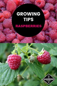 Consider growing Raspberries in your yard. Learn more on how to grow and the nutritional benefits of this superfood. Consider growing Raspberries in your yard. Learn more on how to grow and the nutritional benefits of this superfood.