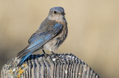 Merlebleu de l'Ouest adulte / Adult Female Western Bluebird (Sialia mexicana) Sialia mexicana (Swainson, 1832) : - Merlebleu de l'Ouest ; - Western bluebird ; - Azulejo de garganta azul ; - Azzurrino occidentale ; - Blaukehl-Hüttensänger ; -...