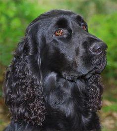 Black Field Spaniel Dog