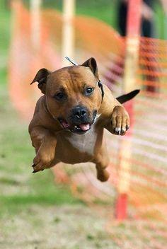 Собака стаффордширский терьер (фото): сильный, умный и добрый питомец Смотри больше http://kot-pes.com/staffordshirskij-terer-foto/