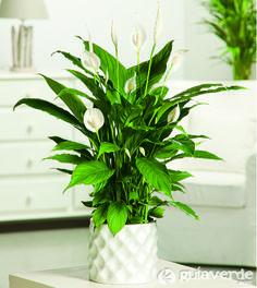 Spathiphyllum. Planta de interior
