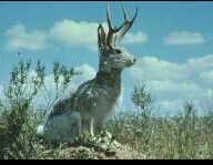 """The jackalope is a mythical animal of North American folklore (a so-called """"fearsome critter"""") described as a jackrabbit with antelope horns or deer antlers and sometimes a pheasant's tail (and often hind legs). The word """"jackalope"""" is a portmanteau of """"jackrabbit"""" and """"antelope"""". A group of jackalopes is called a flaggerdoot.  The story of the jackalope was popularised in Wyoming in the 1930s after a local hunter used taxidermy skills to graft deer antlers onto a jackrabbit carcass, selling…"""
