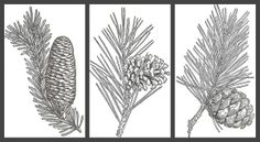 Knick of Time: Antique Graphics Wednesday - Evergreens and Pinecones