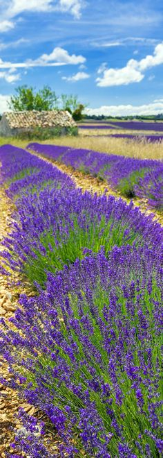 Amazing Lavender Field in Provence With Cloudy Sky...
