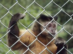 I snapped this very desperate looking monkey at Monkey world.  He looked so sad.