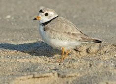 Learn how to identify Piping Plover, its life history, cool facts, sounds and calls, and watch videos. A small pale shorebird of open sandy beaches and alkali flats, the Piping Plover is found along the Atlantic and Gulf coasts, as well as inland in the northern Great Plains. Because of disturbance by people, all populations are considered endangered or threatened.