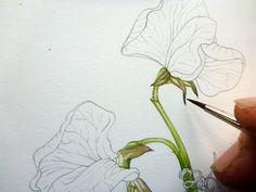 Step 4 of botanical sketchbook study of sweet pea flower