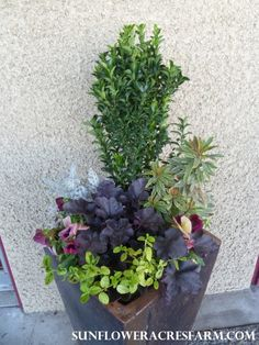 January Container Combo (Euonymus, Euphorbia, Heuchera Obsidian, Ceanothus, Dusty Miller and Pansies)