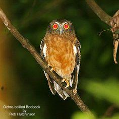 Ochre Bellied Hawk Owl