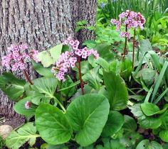 Bergenia Crassifolia à fleurs délicates roses et à feuilles vertes et grandes